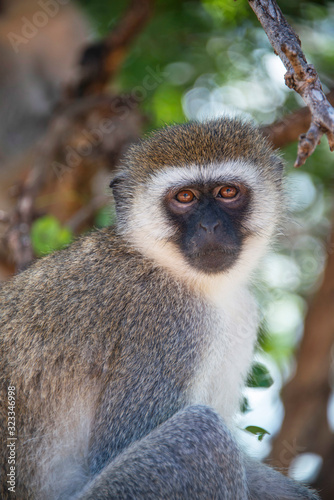 Portrait of a Vervet monkey sitting in the trees of Tanzania, Africa Tapéta, Fotótapéta