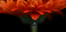 Water Drop On Red Gerbera Daisy With Black Background