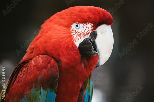 CLose up portrait of scarlet macaw parrot Canvas Print