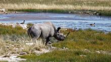 White Rhino At Water Hole, Etosha National Park, Namibia, Africa.