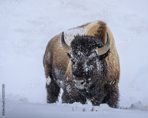 Fototapeta A single bison in Yellowstone National Park in winter