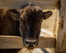 A Baby Bison Calf Outside Of Zion National Park