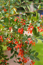 Berberis Vulgaris Or Common Barberry Red Berry Vertical