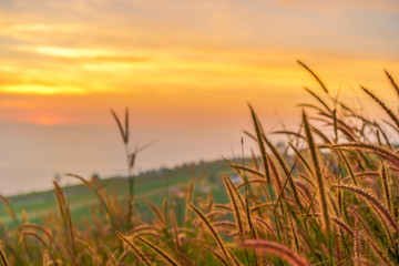 Fototapeta Optyczne powiększenie Yellow meadow with sunrise at morning, Selective focus.