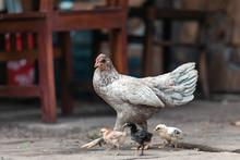 Grey Chicken Outdoors, Bali, I...