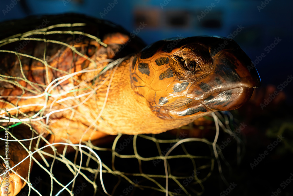 Fototapeta Poor turtle stuck in fishing net on neck and its body. Close up of face dead sea turtle in a fishing net strangled to death. Ocean enviromental destruction.