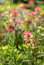 Indian Paintbrush Wildflowers On A Bright Sunny Day