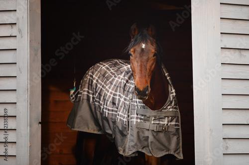 Fototapeta portrait of orlov trotter stallion horse standing in shelter in paddock obraz