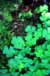 canvas print picture - Background from plant clover four leaf. Irish traditional symbol. St.Patrick 's Day.