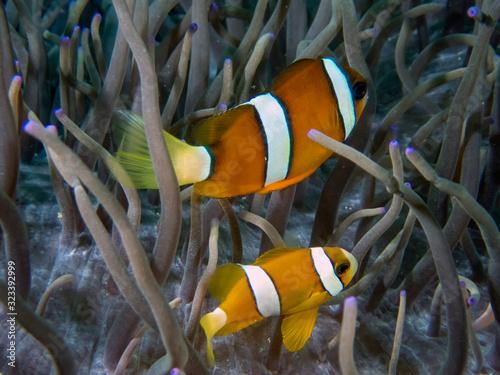 Obraz na plátně Clarkes Anemonefish (Amphiprion clarckii) in Malapascua, Philippines