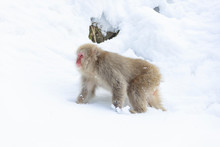 Young Japanese Macaque Looking...