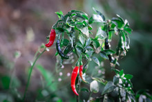 Organic Chilli Or Pepper Plantation In Farm Garden. Red And Green Chillies Fr,chili Leafs And Fruit,chili Plants,chili Plants With Red Chili And Green Chili Peppers,
