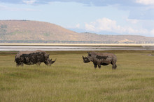 Two Rhinos Fight In The Savannah