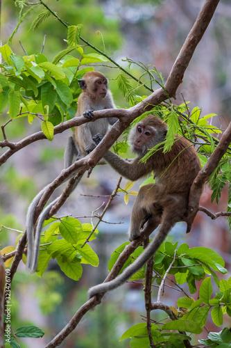 Monkey in Thailand Wallpaper Mural