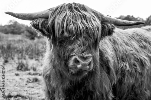 Fototapety, obrazy: Highlander close up in black and white photography