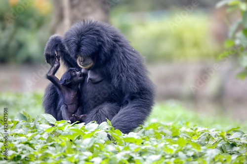 Photo The siamang (Symphalangus syndactylus) is an arboreal black-furred gibbon native