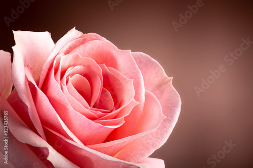 Closeup of a Beautiful Pink Rose Flower