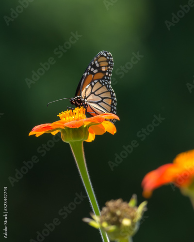 Very pretty Monarch butterfly eating nectar from a bright zinnia flower Canvas Print
