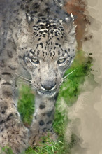 Digital Watercolor Painting Of Beautiful Portrait Of Snow Leopard Panthera Uncia Big Cat
