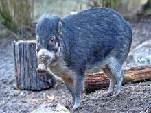Rare Visayan Warty Pig, Sus Cebifrons Negrinus, Looking For Food In The Ground