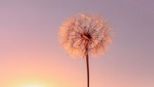 Beautiful Dandelion On The Mea...
