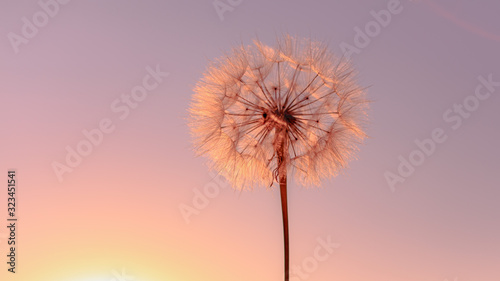Beautiful dandelion on the meadow during sunset. Sun trap.