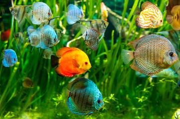 Naklejka Marynistyczny Fresh water aquarium with colorful fishes .