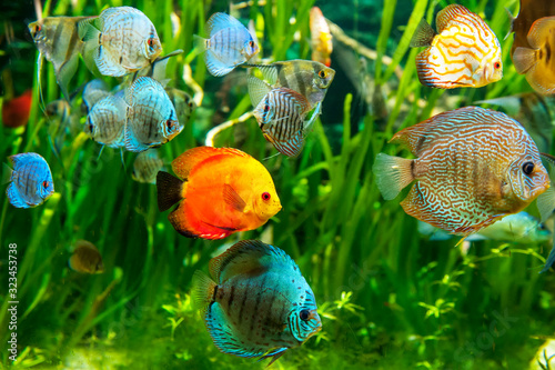 Fresh water aquarium with colorful fishes . Wallpaper Mural