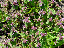 Small Flowers Of The Nettle. Thickets Spotted Dead Nettle As Background.
