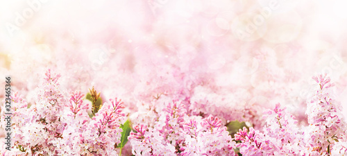 Tela Springtime blossoming pink branch blooming background and backdrop flowers