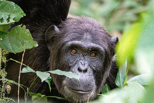 uganda wildlife kibale chimp chimpanzee portrait close up Wallpaper Mural