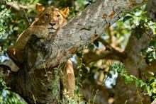 Uganda Wildlife Hanging Tree L...