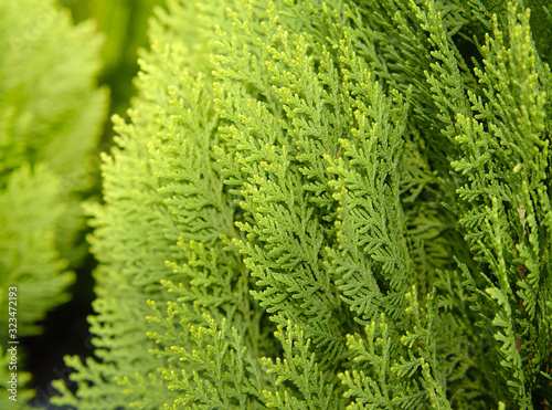 Japanese cypress (Chamaecyparis obtusa) or Hinoki Cypress branch, Christmas evergreen background Fototapet
