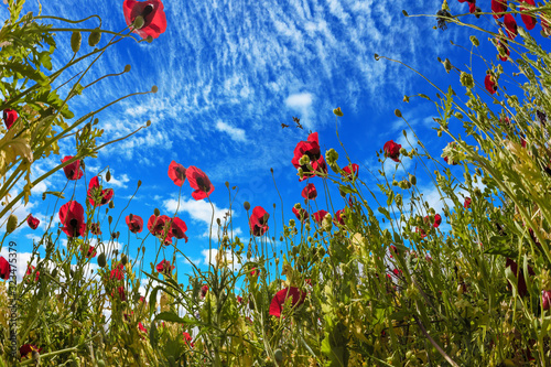 The wildflowers - red anemones Wallpaper Mural