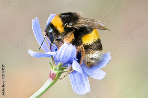 Bumblebee on blue wild flower Fototapete