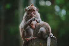 Monkey Forest In Bali, Ubud. Concept About Nature And Animals