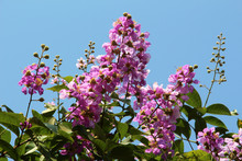 Lagerstroemia Speciosa - Pride Of India - A Pink Flowered Tree, Common In Lumpini Park