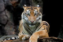 Sumatran Tiger In Various Pose