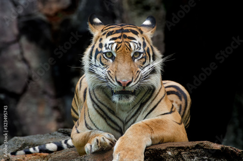 Photo Sumatran tiger in various pose