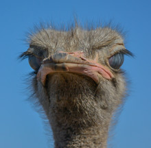 Ostrich Portrait Looking At Ca...