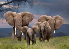 Afrikanische Elefant (Loxodonta Africana)  Mit Jungtieren Von Vorne, Kenia, Ostafrika