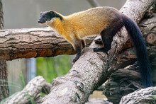 Yellow Throated Marten Stop On Brach And Keep Looking