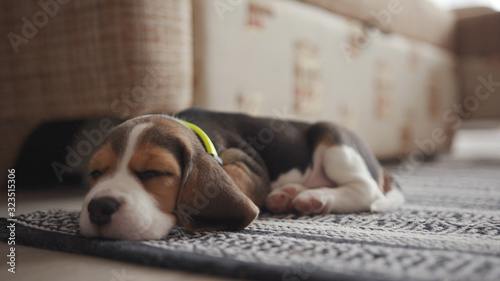Photo Little lovable beagle dog sleeping on the carpet at home