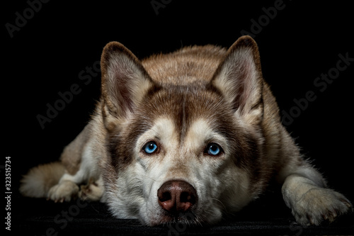 portrait of siberian husky dog Canvas Print