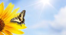 Monarch Butterfly On Sunflower...