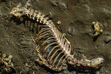 Decompsing Deer Skeleton On A Muddy North Carolina Shore