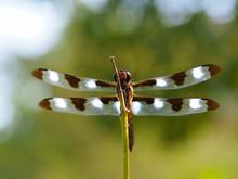 Twelve-spotted Skimmer Dragonfly