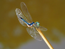 Dragonfly - Male Blue Dasher