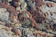 Red Seaweed In Rock Pool, UK