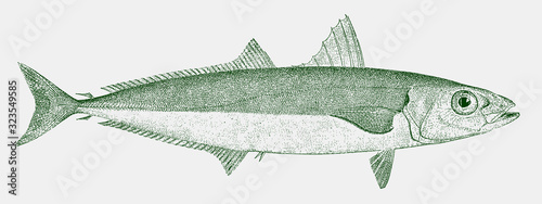 Vászonkép Round scad decapterus punctatus, a fish from the atlantic ocean in side view